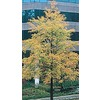 28.5-Gallon Willow Oak (L1407)