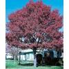 5.5-Gallon Nuttall Oak (L6797)