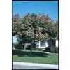 3.25-Gallon Golden Raintree (L1159)