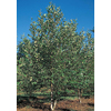  5.5-Gallon Dura-Heat Clump River Birch (L2081)