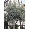 3.25-Gallon European Olive (L14921)