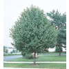  3.25-Gallon Bradford Flowering Pear Tree (L3235)