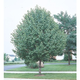 5.5-Gallon Bradford Flowering Pear (L3235)