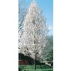 3.25-Gallon Cleveland Select Flowering Pear (L5397)