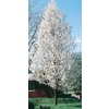 5.5-Gallon Cleveland Select Flowering Pear (L5397)