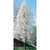 10.25-Gallon Cleveland Select Flowering Pear (L5397)
