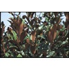 10.25-Gallon Bracken's Brown Beauty Magnolia Tree (L21566)