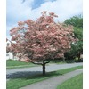  2.25-Gallon Pink Flowering Dogwood Tree (L3181)