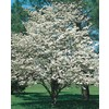  2.25-Gallon White Dogwood (L1053)