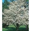  5.5-Gallon White Dogwood (L1053)
