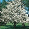 10.25-Gallon White Dogwood (L1053)