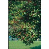  5.5-Gallon Savannah Holly (L2618)