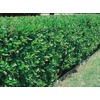 27.5-Gallon White Green Ligustrum Foundation/Hedge Shrub (L7467)