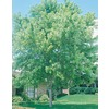 27.5-Gallon Silver Maple (L1124)
