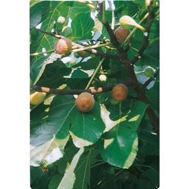 3.25-Gallon Celeste Fig Tree (L1330)
