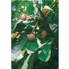  3.25-Gallon Celeste Fig (L1330)