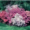 2.5-Quart Mixed Azalea Flowering Shrub (L5159)