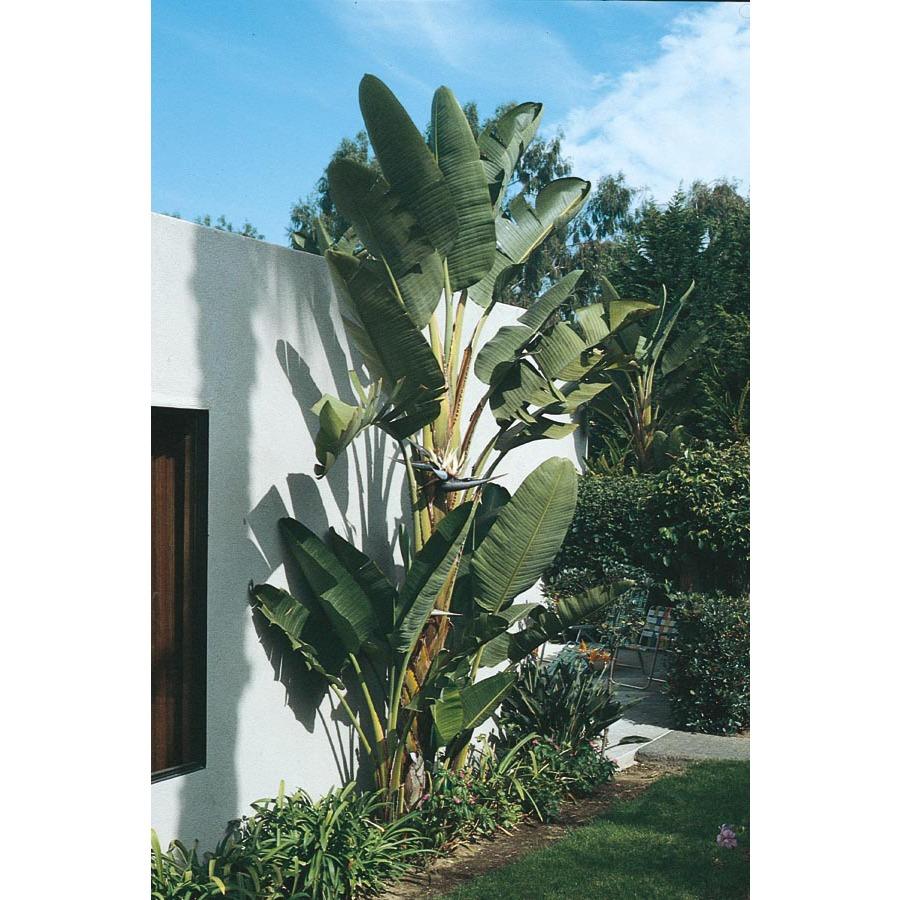 White bird of paradise plant care - photo#8