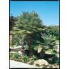 2.5-Quart European Fan Palm (L9064)