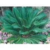 24.5-Gallon Sago Palm (Ltl0026)