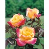  2.25-Gallon Desert Peace Rose (L9678)