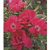3-Gallon Knock Out Patio Tree Rose (LW03244)