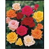  2.25-Gallon Premium Rose (L11179)