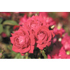 1-Gallon Double Knock Out Rose (LW02389)