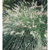 1-Quart Fountain Grass (L4997)