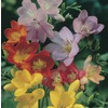 1.75-Gallon Freesia Bulbs