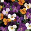 0.5-Flat Viola (L16523)