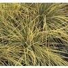 1-Quart Tufted Hair Grass (L2148)