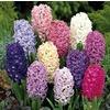 1.64-Pint Hyacinth Bulbs