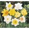 1.64-Pint Daffodil Bulbs