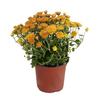 1.64-Pint Garden Mum (L17375)