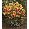 2.5-Quart Blanket Flower (L10067)