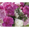  Gallon Peony (LB16167)