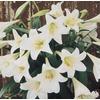 1.87-Quart Easter Lily (L2295)