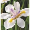 1.5-Gallon African Iris (L3155)