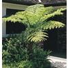 2-Gallon Australian Tree Fern (L11787)