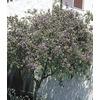 2-Gallon Purple Blue Potato Bush Flowering Shrub (L7532)