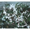 2-Gallon Pink Jasmine Vine Stalk