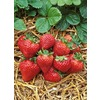  2.5-Quart Strawberry (L00574)