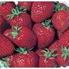 0.5-Flat Strawberry Small Fruit (L00574)