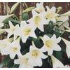 1.25-Quart Easter Lily (L2295)