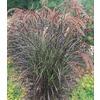 1.25-Quart Purple Fountain Grass (L8564)