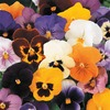 18-Pack Pansy (L5048)