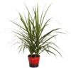 6-in Madagascar Dragon Tree in Planter