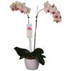 1.25-Quart Phalaenopsis in Planter