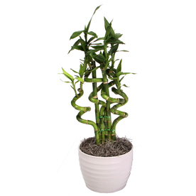 1.25-Quart Lucky Bamboo Happy Event in Planter